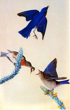 State birds - John James Audubon Painting 30.jpg