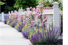 White picket fence with lavender