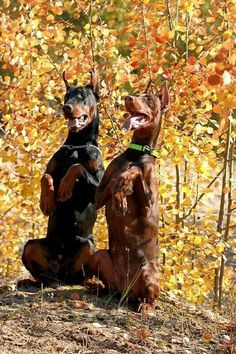 """""""Look, they're falling for it!"""" #dogs #pets #DobermanPinschers Facebook.com/sodoggonefunny"""