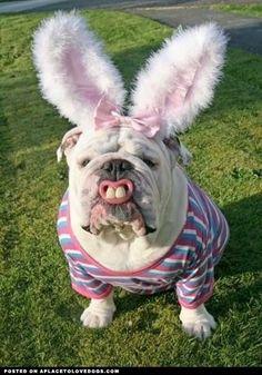 Giant rabbit English bulldog Happy Easter