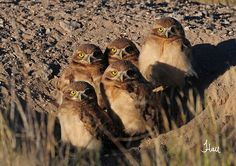 The One-eyed Burrowing Owls