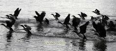 cormoran grande. Punta Arenas Chile Chile, Movie Posters, Movies, Art, Animales, 2016 Movies, Film Poster, Films, Popcorn Posters