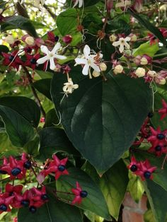 Clerodendron - http://www.gardenanswers.com/perennials/clerodendron-2/