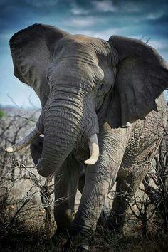 Elephant charge - Kruger National Park