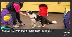 Conoce aquí las reglas básicas que necesitas dominar para tener éxito entrenando a tu perro. Ingresa Aquí >>> http://sobreperrosygatos.com/reglas-entrenar-un-perro/