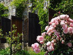 Beautiful roses in Napa, California