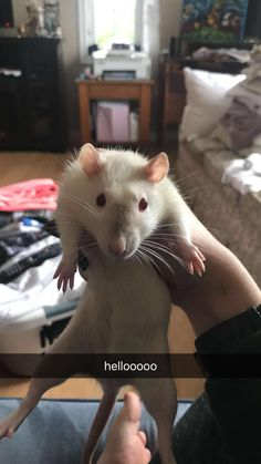 Hello from Navi :D #aww #cute #rat #cuterats #ratsofpinterest #cuddle #fluffy #animals #pets #bestfriend #ittssofluffy #boopthesnoot
