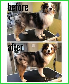 This guide supplies hacks and suggestions to make grooming in your home simpler! Source: Basic Grooming Tips From A Dog Grooming Professional. Merle Australian Shepherd, Grooming Australian Shepherd, Mini Australian Shepherds, Aussie Shepherd, Shepherd Puppies, Australian Sheep Dogs, Mini Aussie Puppy, Aussie Puppies, Puppies Tips