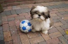 """Visit our site for more information on """"shih Tzu puppies"""". It is actually an outstanding place to learn more. Shitzu Puppies, Kittens And Puppies, Cute Puppies, Cute Dogs, Chien Shih Tzu, Shih Tzu Puppy, Shih Tzus, Cute Dog Pictures, Animal Pictures"""