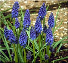 Muscari Armeniacum Generally known as the Grape Hyacinth Blue flowers perfect for planting in drifts They need no special care and once planted will Spring Flowering Bulbs, Spring Bulbs, Flowering Trees, Greek Flowers, Blue And Purple Flowers, North Facing Garden, Perennial Bulbs, Growing Grapes, Growing Herbs