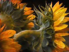 Photograph Sun Flowers by John Rivera on 500px