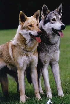 View topic - Favorite Wolfdog Breeds or Types Border Terrier, Cairn Terrier, Clumber Spaniel, Bearded Collie, Afghan Hound, Beautiful Wolves, Beautiful Dogs, Bichon Frise, Utonagan Dog