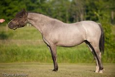 smoky black roan - Welsh Mountain Pony (section A) mare Evans Matilda The Dragon