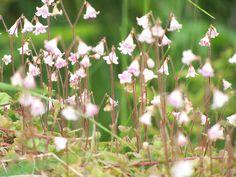 linnea flower | linnea 2 linnea flowers in a forest in stromsund sweden