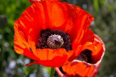 My favorite flower- Poppy