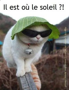 Météo image #4572 - Il est où le soleil ?! Tags: Chapeau, Chats, Drole, Lunettes De Soleil, Soleil.