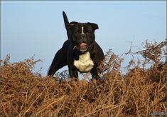 Continental Bulldog, Pitbulls, Dogs, Animals, Ghosts, Animales, Pit Bulls, Animaux, Pet Dogs