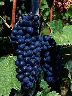 Shiraz, special grape for making red wine #irantravelingcenter