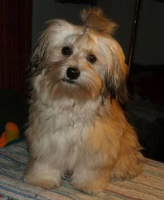 Find Out More On The Funny Havanese Pup Grooming Havanese Puppies For Sale, Havanese Dogs, Funny Dogs, Cute Dogs, Puppy Drawing, Dog Facts, Companion Dog, Lap Dogs, Puppy Care