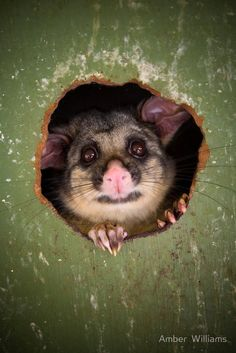 Bushtail Possum: The Australian brush tailed possum was introduced into New Zealand in 1837 to establish a fur trade. Australian Possum, Australian Animals, Reptiles, Mammals, Animals Of The World, Animals And Pets, Cute Animals, Cute Animal Photos, Animal Pictures