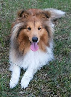 Mini Collie, Collie Dog, Rough Collie, Shetland Sheepdog, Sheltie, All Dogs, Pet Birds, Animal Pictures, Doggies