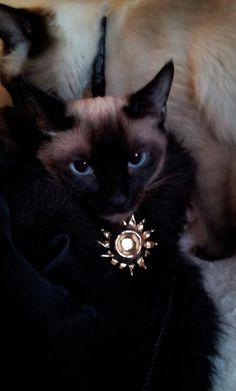 Fancy cat in a chinchilla n bling! Double dayum!