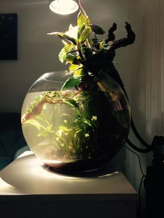 A glass bowl with 45 cm diameter was used. System works as low-tech and most of the plants are Anubias species in underwater section. DIY led light fixture with 35 watt power and Fluval 106 canister filter were used. Diy Led, Led Light Fixtures, Underwater, Filter, Aquarium, Christmas Bulbs, Tech, Vase, Holiday Decor