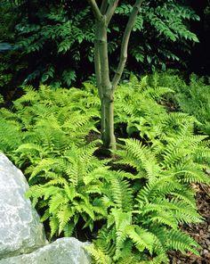 Japanese tassel fern • Polystichum polyblepharum • Plants & Flowers • 99Roots.com