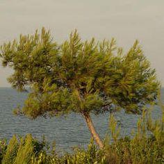 Pinus halepensis Aleppo Pine, Jerusalem Pine seed for sale