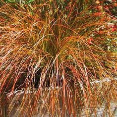 Sedge 'Prairie Fire'