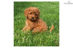 Meet Honey a cute Cavachon puppy for sale for $650. Puppy