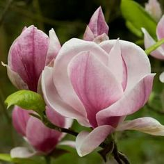 Pink magnolia. So beautiful.