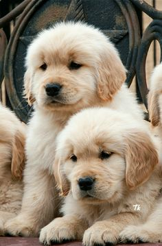 Beautiful. .................... Good Morning G + friends. . . . . . . . . . . Have a nice day. . . . . . . . . . . . . . . . . . .  ADORABLE GOLDEN RETRIEVERS PUPPY How sweet it is aww... .  Labrador retrievers are active, intelligent, alert, easy to train and love being around people. Labs are excellent family dogs and are not noisy or territorial if trained properly. They are one of the best choice as #family pets . They are gentle to other animals and people and are great as an...