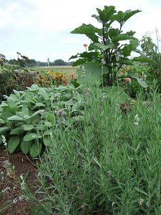 A nice combination of edible plants that need lots of sun and well-drained soil.  The small, medium, large texture of the lavendar, sage and eggplant is quite striking.
