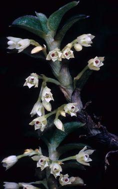 Pachyphyllum breviconnatum