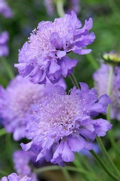Scabiosa 'Butterfly Blue', perfect for picking for the house, perfect for including in a good looking border.