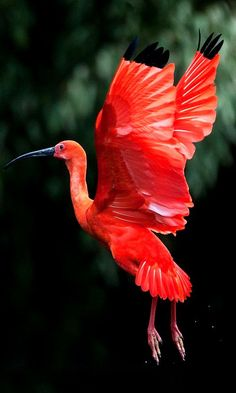 The Scarlet Ibis  (Eudocimus ruber) inhabits tropical South America and islands of the Caribbean.