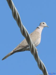 A turtledove on wires by Francesca Murroni Ph on 500px
