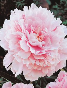 Blousy, pink, tough and reliable. This variety is always popular with visitors when seen in bloom in our spring gardens. Peony 'Sarah Bernhardt' is the winner of an RHS Award of Garden Merit. Peony Roses are vigorous garden plants with blooms that make wonderful cut flowers. The exotic blooms of Peony Roses have been cherished …