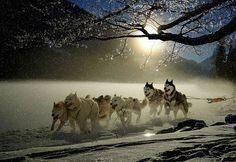 Dogs, Huskies, Animal, Dog Racing