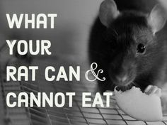 Rats Like; Apples, Bananas, Blueberries, Broccoli, Cantaloupe, Carrots, Cauliflower, Cheese, Cherries, Chicken, Chicken bones, Corn, Cranberries, Cucumber, Dry cereal, Grapes, Ham, Kiwi, Lettuce, Melons, Pasta (cooked or Dry) Peaches, Peas, Plums, Potatoes, Raspberries, Rice, Saltine crackers, Strawberries, Sunflower seeds, Watermelon, Whole grain crackers, Whole wheat pasta,