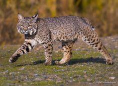 Bobcat Pictures, Bob Cat, Cheetahs, Leopards, Lynx, Bobs, Creatures, Photography, Animals