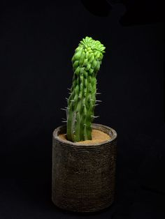竜神木綴化 Myrchillocactus geometorizans f. crist