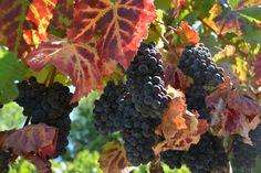 Vineyard in September on Eastside Road, Healdsburg. / Mary Anne Veldkamp / Real Estate / www.maryanneveldkamp.com / 707-535-8803