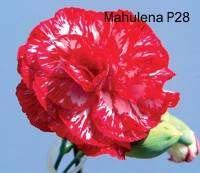 Karafiát Mahulena P28