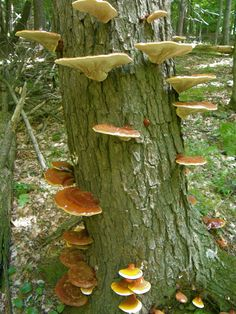 Reishi Mushroom The Mushroom Of Immortality Mushroom Hunting, Mushroom Art, Mushroom Fungi, Edible Wild Mushrooms, Stuffed Mushrooms, Cool Plants, Air Plants, Mushroom Pictures, Plant Fungus