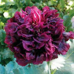 Select Seeds Papaver paeoniflorum 'Peony Black' annual