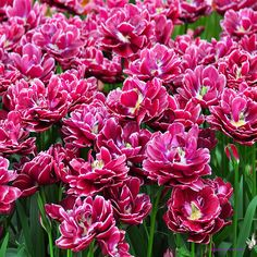 tulips.Lisse The Netherlands