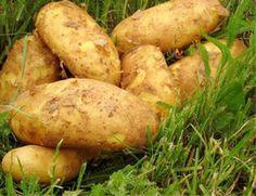 Pěstování brambor v trávě - Zahrada - MojeDílo.cz Veg Garden, Growing Plants, Indoor Plants, Baked Potato, Gardening, Planting, Potatoes, Fruit, Vegetables