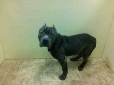 TO BE DESTROYED - 04/02/15 Brooklyn Center-P  My name is TUBBY. My Animal ID # is A1031042. I am a male black staffordshire mix. The shelter thinks I am about 6 YEARS old.  I came in the shelter as a OWNER SUR on 03/22/2015 from NY 11238, owner surrender reason stated was CRUELTY.